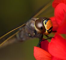 Dragonfly eye by Andrew Berends