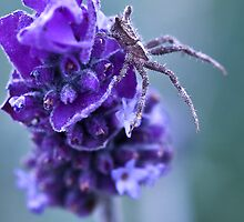 Lavender Spider by Andrew Berends