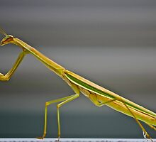Praying Mantis. by JCortez