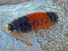 Banded Woolly Bear Caterpillar - Pyrrharctia isabella by MotherNature