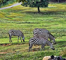 Zebra by Carolyn  Fletcher