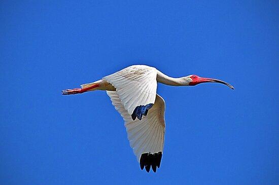 White Ibis by venny