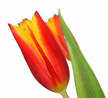 Tulip by Darren Fisher