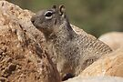 Rock Squirrel  by Kimberly Chadwick
