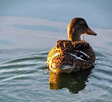 Lone Duck by Nevermind the Camera Photography