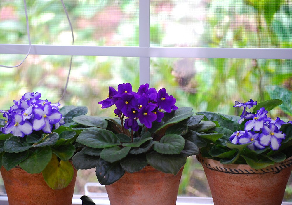 Violets in the Window by peterrobinsonjr