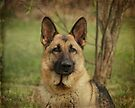 Yahtzee--German Shepherd by Sandy Keeton