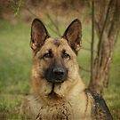 Yahtzee--German Shepherd by Sandy Keeton