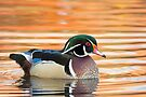 Wood Duck early October morning by Eivor Kuchta