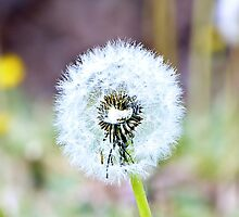 Dandelion - iPhone and iPod skin by Scott Mitchell