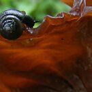 Snail on Tree-ear Fungi by elasita