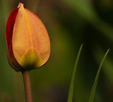 orange tulip by dixi84