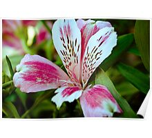 Pink and White Inca Lily  Poster