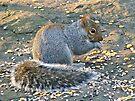Grey Squirrel - Sciurus carolinensis by MotherNature
