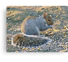 Grey Squirrel - Sciurus carolinensis Canvas Print
