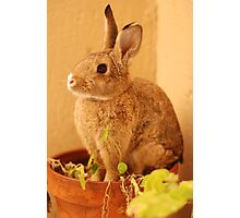 potted bun Photographic Print