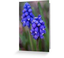 Grape hyacinth Greeting Card