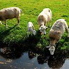 Yes, it is lamb time again! by jchanders