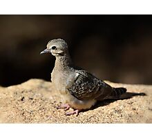 Baby Mourning Dove  Photographic Print