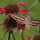 White-Lined Sphinx Moth also know as a Hummingbird moth  by ffuller
