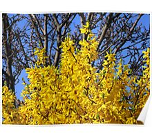 Golden Forsythia against a Cloudless Blue Sky Poster