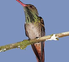 Rufous-tailed Hummingbird Male by hummingbirds