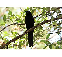 Great-Tailed Grackle Photographic Print
