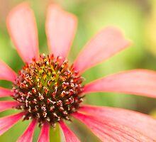 echinacea by Dean Mullin