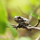 Bird Voiced Treefrog by Seth LaGrange
