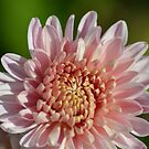 Happy Mother's Day Chrysanthemum by TheaShutterbug