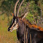 Regal beauty by Explorations Africa Dan MacKenzie