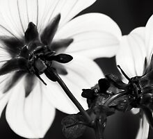 Black and White Dahlias by Erik Holt