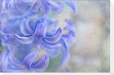 hyacinth by Teresa Pople