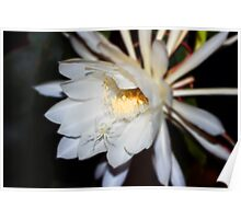Queen of the Night Flower in Colour Poster