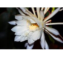Queen of the Night Flower in Colour Photographic Print