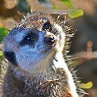 Meerkat by KEBSD123