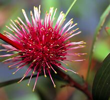Pincushion Hakea by Erik Holt