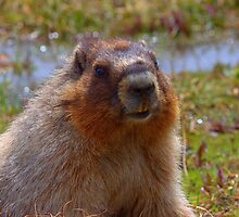 Marmot Close-up by JamesA1