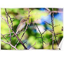 Pine Warbler Poster