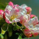 Apple Blossom Time by AnnDixon