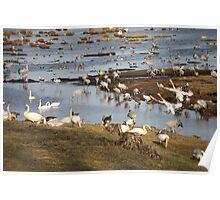 Bird Migrants  Poster