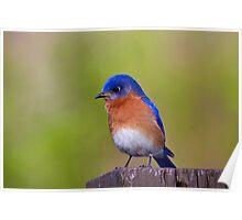Male Bluebird Poster