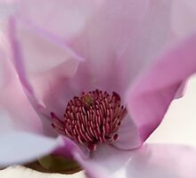 Magnolia Tree Flower by tdash