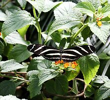 Zebra Longwing Butterfly on Flower by tdash