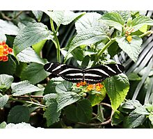 Zebra Longwing Butterfly on Flower Photographic Print