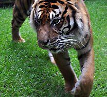 Eye of the tiger by elizadavis