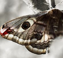 Saturnia pavonia by jimmy hoffman