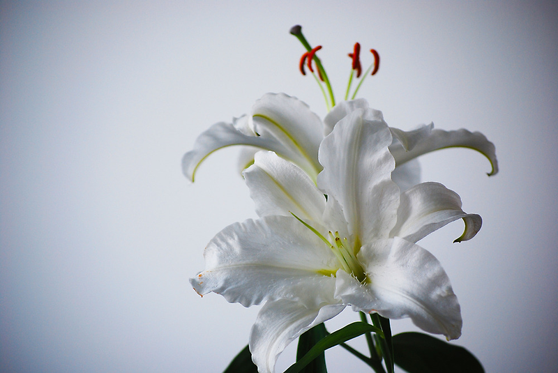 White  Lily by peterrobinsonjr