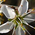 black thorn blossom by millymuso
