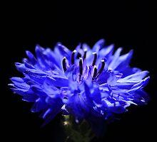Cornflower by PhotoTamara